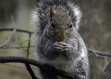 Gray Squirrel Eating Seeds sull'arto di albero Fotografia Stock