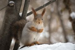 The gray squirrel eating sunflower seeds on the tree in the park Royalty Free Stock Photos
