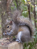 Gray Squirrel Eating un'arachide Fotografia Stock