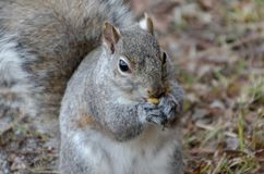 Gray Squirrel eating a nut royalty free stock images