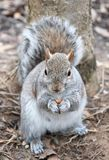 A gray squirrel eats a small nut by a tree in February, 2018. Royalty Free Stock Photography