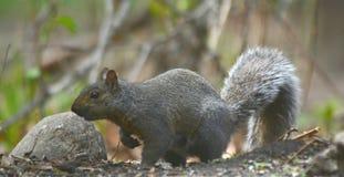 Gray Squirrel facente una pausa momentaneo fotografia stock