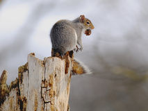 Gray Squirrel in Fall Stock Image