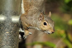 Gray Squirrel On Feeder Stock Photos