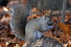 Gray Squirrel Feeding Royalty Free Stock Photography