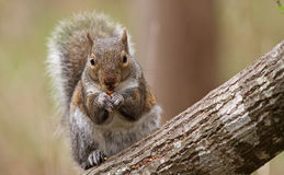 Gray Squirrel Feeding on Tree Trunk Royalty Free Stock Image