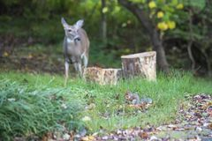 Gray squirrel feeds in the foreground as white-tailed deer observes. In the background Stock Photo