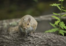 Gray Squirrel in Florida Royalty Free Stock Photography