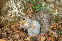 Gray squirrel in the foreground eating peanut Royalty Free Stock Photography