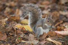 Gray squirrel in the foreground eating peanut Stock Photo