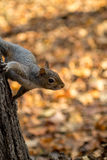 Gray squirrel in the foreground eating peanut Stock Images
