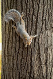 Gray squirrel in the foreground eating peanut Royalty Free Stock Image