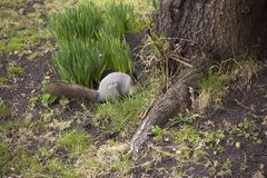 Gray squirrel gathers and eats acorns. The rotation in nature. Animal feed royalty free stock images