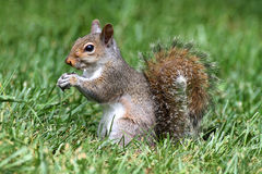 Gray Squirrel In Grass Royalty Free Stock Photography