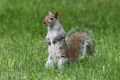 Gray Squirrel In Grass Royalty Free Stock Photo