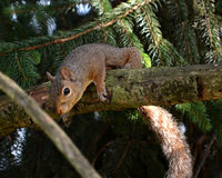 Gray squirrel. A grey squirrel hangings over a branch of a pine tree stock photography