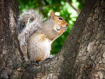 Gray Squirrel. A grey squirrel in a London park on a bright autumnal day royalty free stock image