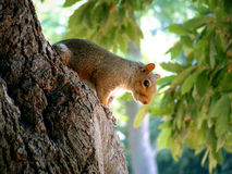 Gray Squirrel. A grey squirrel in a London park on a bright autumnal day royalty free stock images