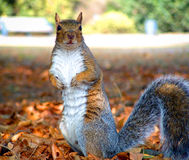 Gray Squirrel. A grey squirrel in a London park on a bright autumnal day Stock Photos