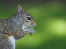 Gray Squirrel-het eten Stock Afbeelding