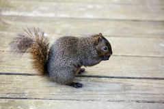 Gray squirrel in a Houston park of Texas Royalty Free Stock Photos