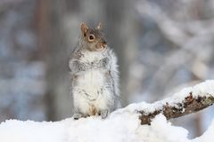 Gray Squirrel In Winter Snow Stock Image