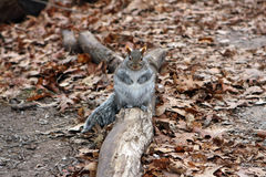 Gray Squirrel On Log. On Oak Leaves Stock Image
