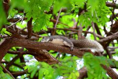 Gray squirrel with long tail is runing on a branch of tree. royalty free stock images