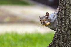 Gray squirrel looking behind the tree. Gray squirrel holding nut in mouth while looking behind the tree trunk stock photos