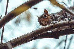 Gray squirrel looking through branches from above royalty free stock photo