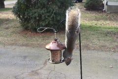 Gray Squirrel no alimentador do pássaro Fotos de Stock Royalty Free