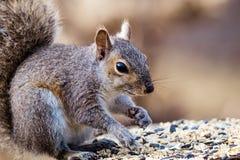 Gray Squirrel oriental apprécie un casse-croûte dans la belle lumière d'après-midi Image libre de droits
