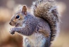 Gray Squirrel oriental apprécie un casse-croûte dans la belle lumière d'après-midi Photographie stock