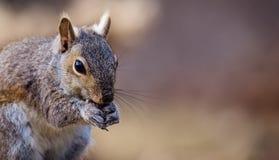 Gray Squirrel oriental apprécie un casse-croûte dans la belle lumière d'après-midi Photographie stock libre de droits