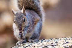 Gray Squirrel oriental apprécie un casse-croûte sur un tronçon dans la belle lumière d'après-midi Photos libres de droits