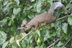 Gray Squirrel oriental (carolinensis do Sciurus) no ramo Imagens de Stock