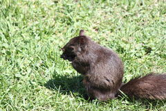 Gray Squirrel oriental (carolinensis do Sciurus), preto Foto de Stock Royalty Free