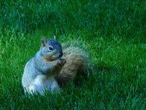 Gray Squirrel oriental na grama do parque Imagem de Stock