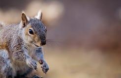 Gray Squirrel oriental pose gaiement dans la belle lumière d'après-midi Image stock