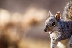 Gray Squirrel oriental sourit dans la belle lumière d'après-midi Image libre de droits