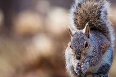 Gray Squirrel oriental sourit et apprécie un casse-croûte dans la belle lumière d'après-midi Photographie stock