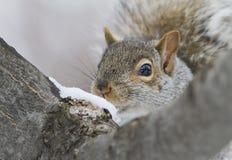 Gray Squirrel orientale Immagine Stock Libera da Diritti