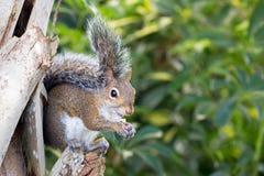 Gray Squirrel orientale appollaiato sulla palma Immagine Stock Libera da Diritti