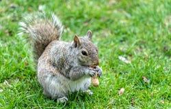 Gray Squirrel orientale che mangia un'arachide Montreal - in Quebec, Canada Immagine Stock