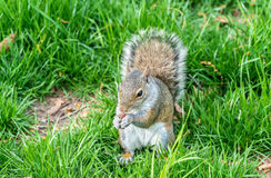Gray Squirrel orientale che mangia un'arachide in New York, U.S.A. Immagine Stock Libera da Diritti