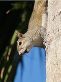 Gray Squirrel orientale con la bacca dall'albero del sabal Immagini Stock Libere da Diritti