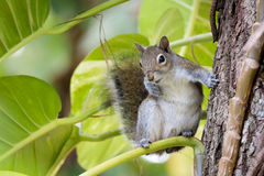 Gray Squirrel orientale divertente Fotografie Stock