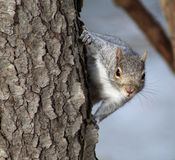 Gray Squirrel Peeking Around Side of Tree Royalty Free Stock Images