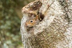 Gray Squirrel Peeking oriental da cavidade II do carvalho fotos de stock royalty free