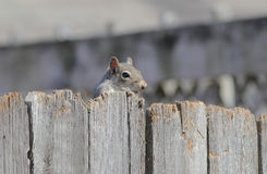 Gray Squirrel Peeking over Fence Royalty Free Stock Image